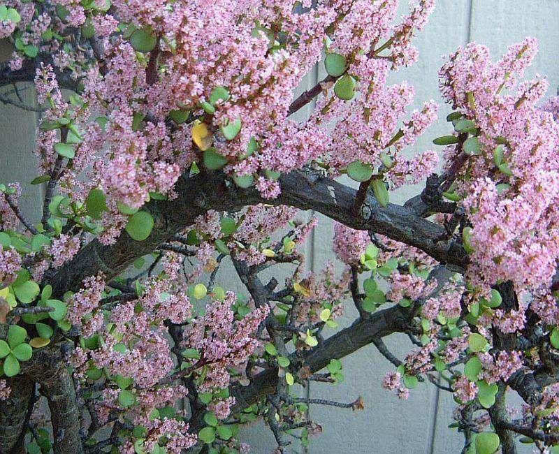 Rbol de la abundancia o portulacaria afra cuidados for Arboles para sombra de poca raiz