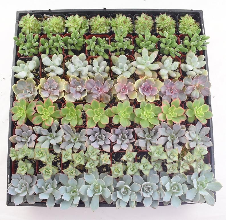 """100 Wedding collection Succulents in 2"""" Pots Wedding"""