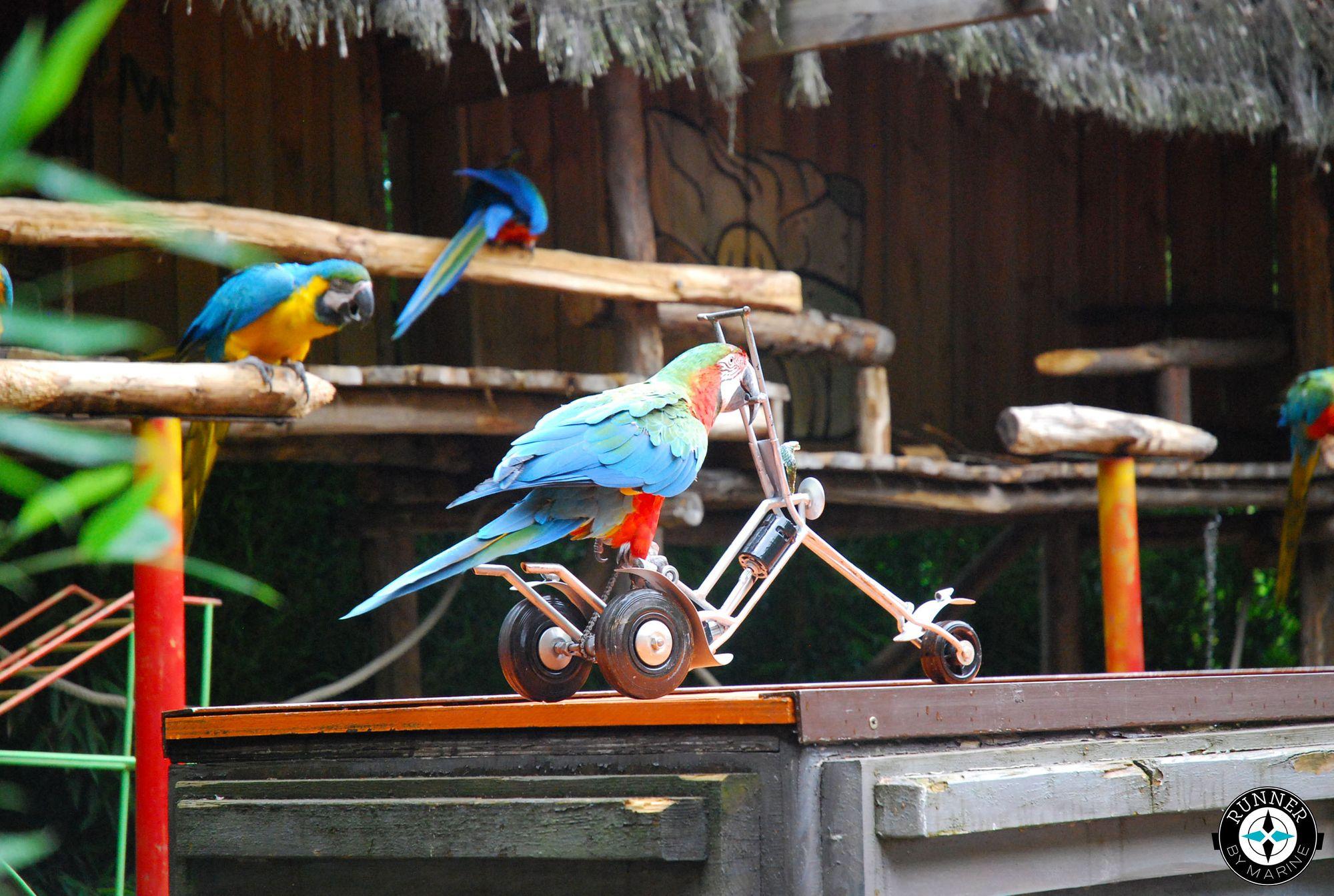 Les perroquets vivent dans les régions tropicales, principalement en Amérique, Afrique et Océanie.