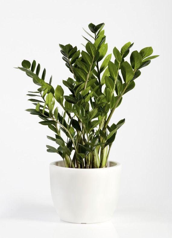 plante interieur robuste