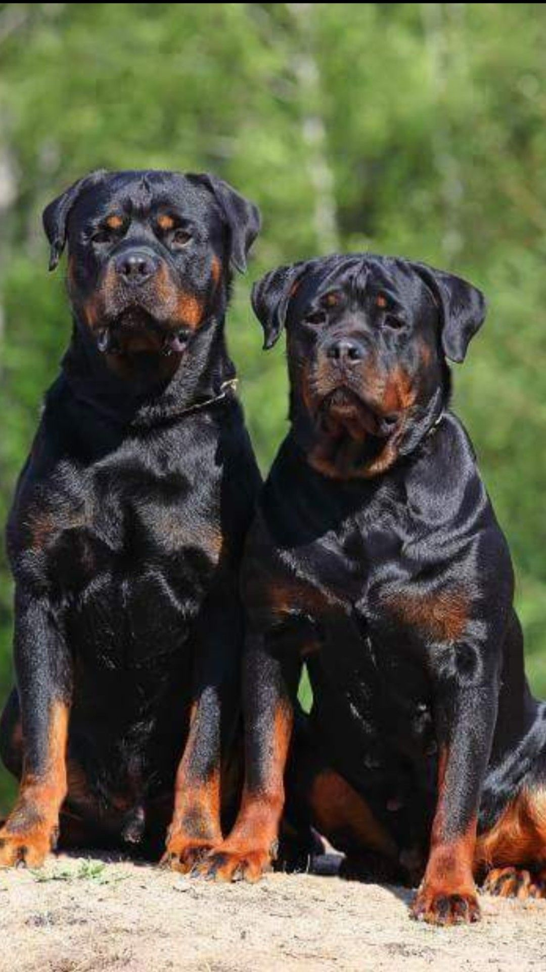 Pin by ciera marie on rottweilers big dogs