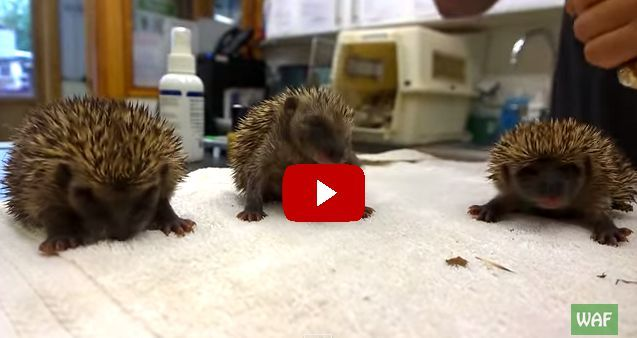 This Video of Sneezing Hedgehog Babies is the Sweetest Thing You'll See All Day - WomansDay.com
