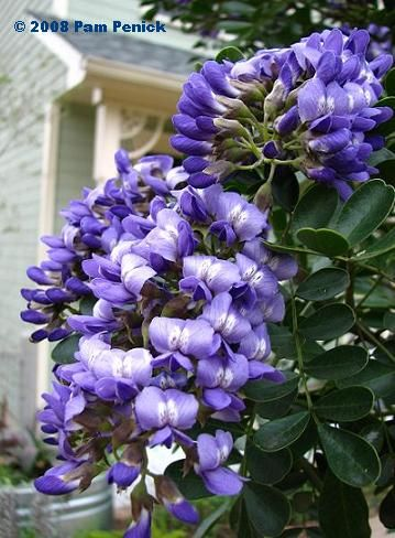 Texas Mountain Laurel Don T Bloom Yet Digging Winter Flowers Garden Winter Plants Laurel Flower