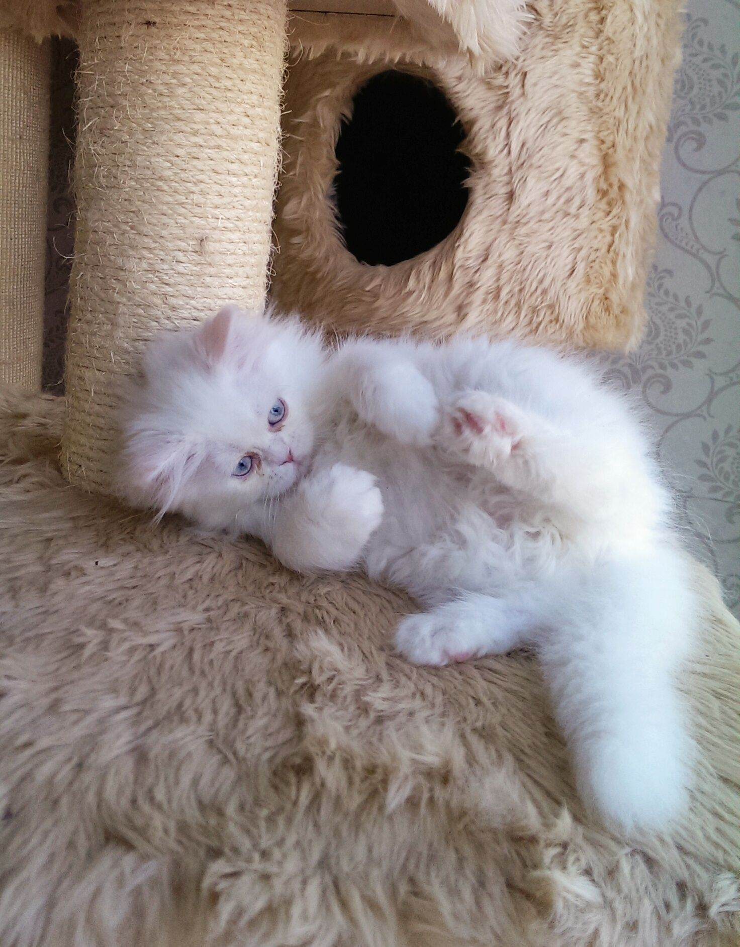 Beautiful White Blue Eyed Persian Kitten Available For Sale Call 800 Pet 738 For Reservation And More Info Persian Kittens Cat With Blue Eyes Kawaii Cat
