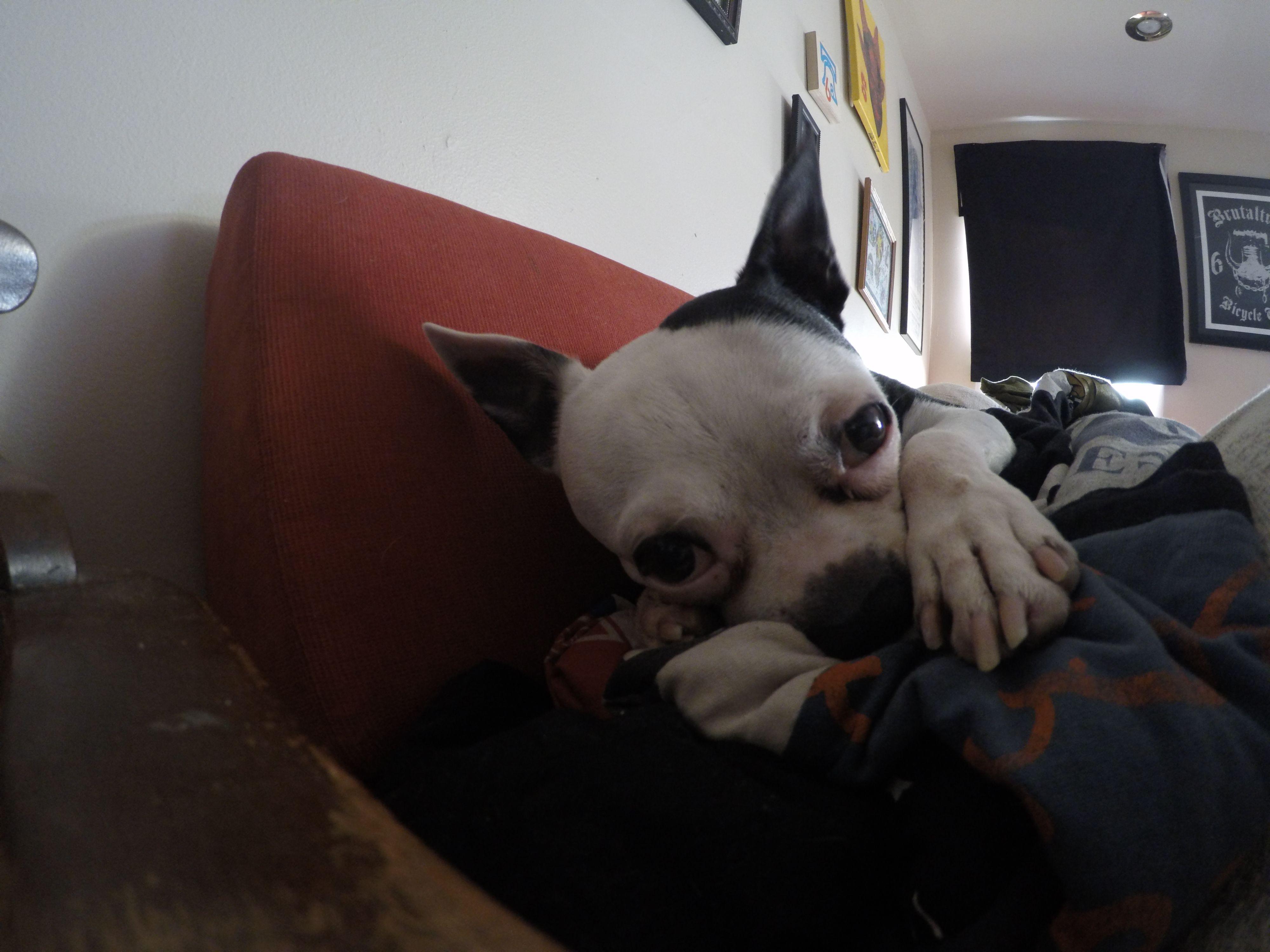Little Dude my boston terrier rescue