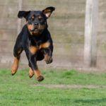 Photo of Schutzhund Dog Training – Consejos de entrenamiento para perros