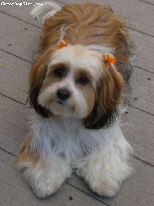 Schweenie Dachshund Shih Tzu Cute Puppies Pinterest Shih