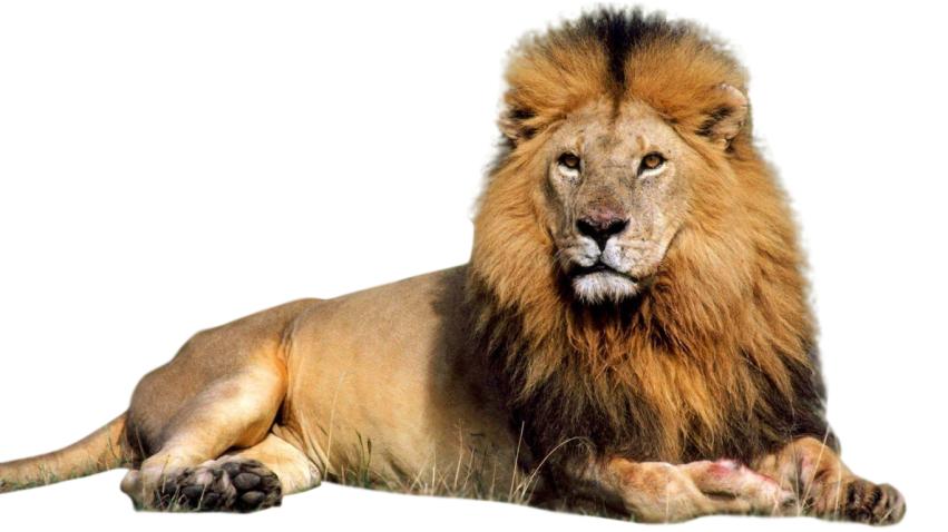 Sitting Lion Vector Hd Png Lion Pictures Lion Images Lion Clipart