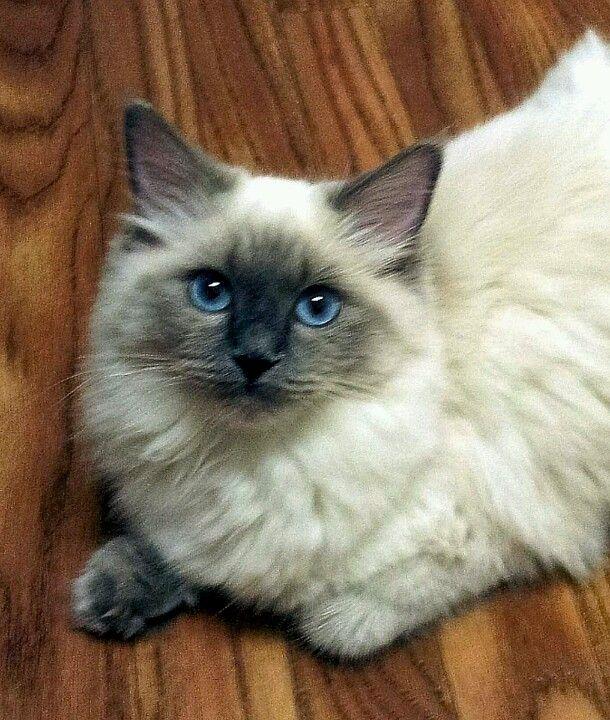 My Ragdoll Cat Maddie Ragdoll Cat Cool Cats Cute Animals