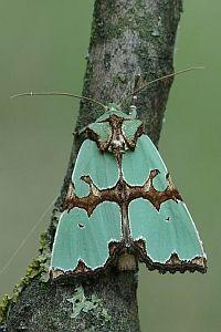 Staurophora Celsia Linnaeus 1758 Malachiteule Insektenkunst Libellen Kunst Insekten