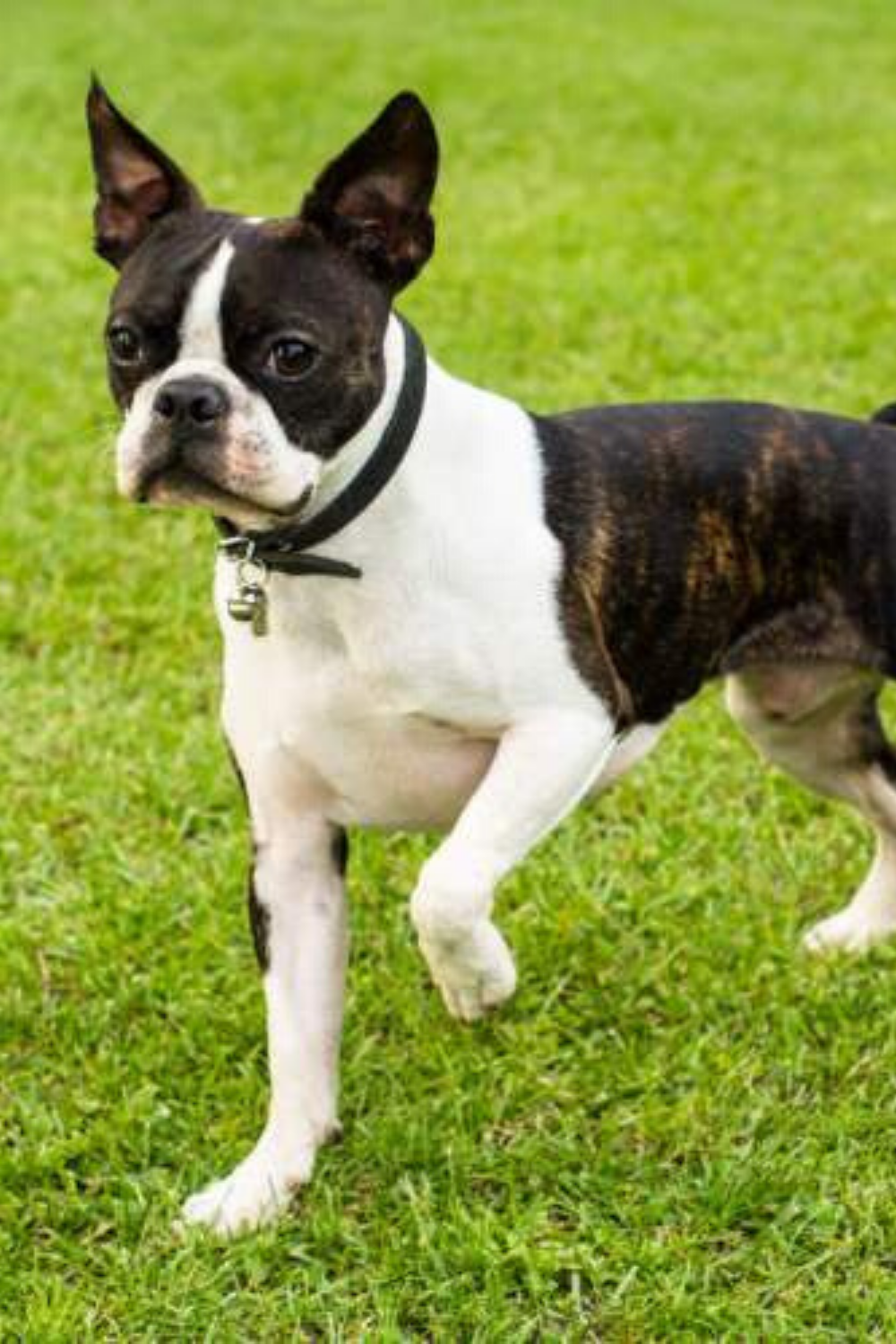 20 Cool Facts About The Boston Terrier Breed In 2020 Terrier Terrier Breeds Boston Terrier