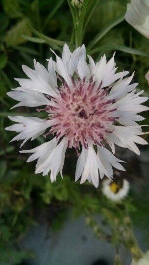 Cornflower-pink
