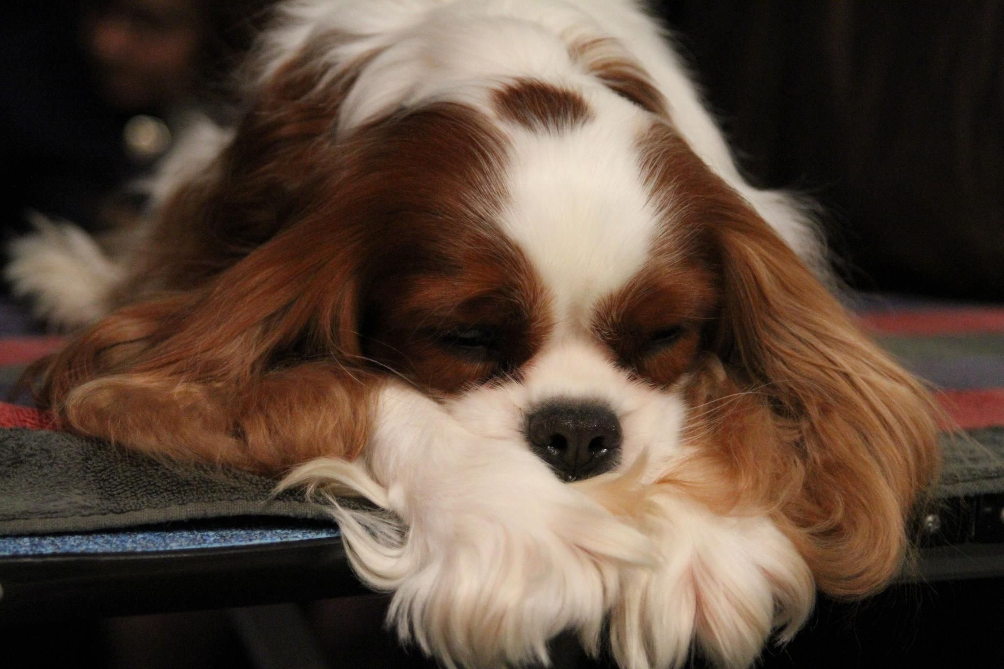 Westminster Kennel Club Dog Show There Is A Time For Many Words And Cavalier King Charles Dog King Charles Dog King Charles Cavalier Spaniel Puppy