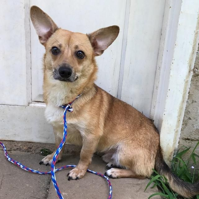 Dorgi Dog For Adoption In Little Rock Ar Adn 603600 On Puppyfinder Com Gender Male Age Young Corgi Dachshund Dog Adoption Dachshund Mix