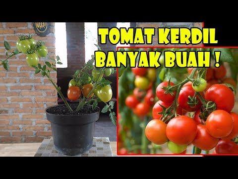 Tis Cara Cepat Tanam Tomat Dr Buah Segar Semai Rawat