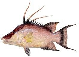 This Fish Is Known As El Capitan In Puerto Rico Who Can Identify The