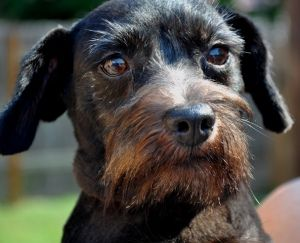 Click the picture to learn more about Otis a long hair Dachshund and Scottish Terrier Party Dog! He is about 2years old and 13 lbs. fully grown.