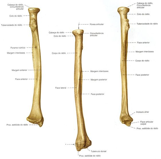 Radio Anatomia Dos Ossos Aula De Anatomia Anatomia Corpo Humano