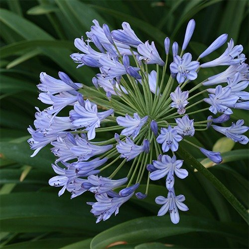 Lily Of The Nile Flowers Perennials Agapanthus Praecox Agapanthus