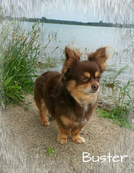 Pin By Judy Crouch On Long Hair Chihuahua Cute Chihuahua Teacup Chihuahua Puppies Chihuahua Puppies