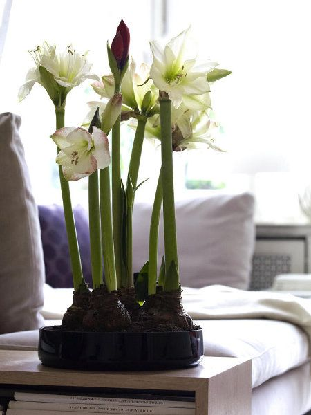 amaryllisschale amaryllis deko amaryllis christrose und saison blumen. Black Bedroom Furniture Sets. Home Design Ideas