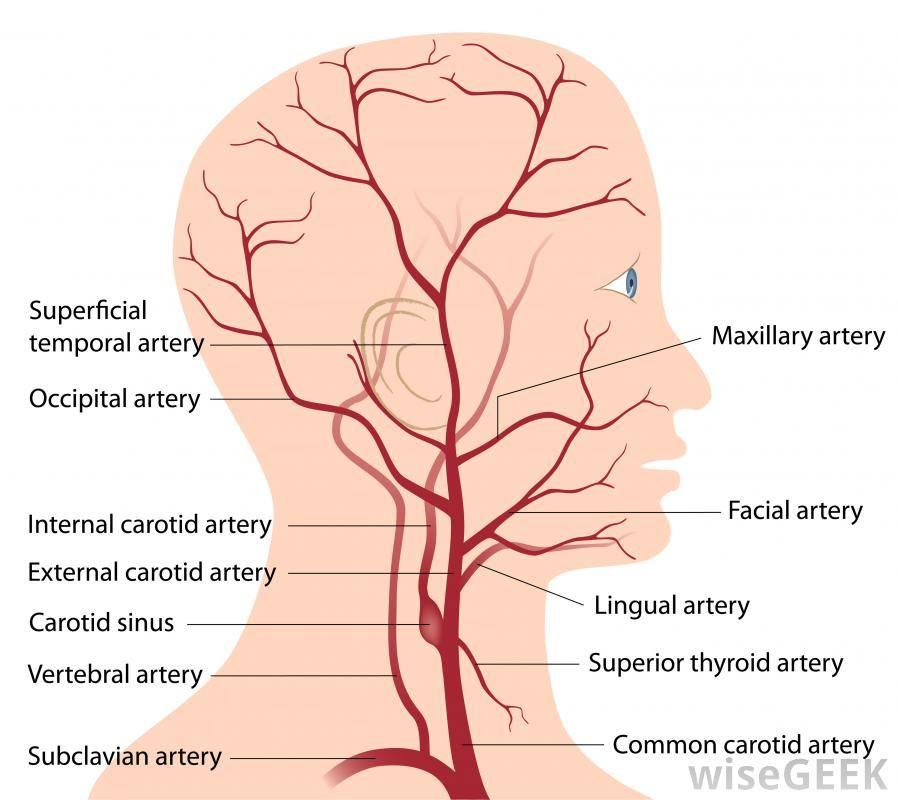 Facial Artery | interesting things | Pinterest | Internal carotid ...
