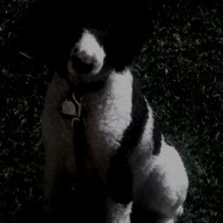 My Sweet Treble :) Parti Standard Poodle