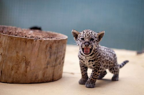 SQUEEOW   A jaguar cub hisses at the Berlin Zoo in Germany.  (Photo: Kay Nietfeld / AFP-Getty via The Guardian)
