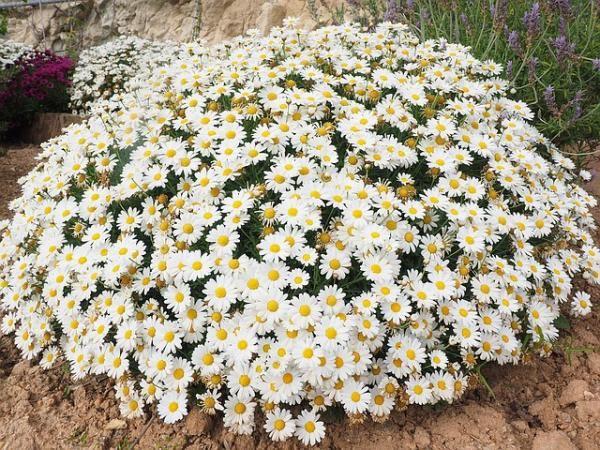 16 Plantas de Jardín con Flores resistentes al Sol – Lista, Fotos y VÍDEO