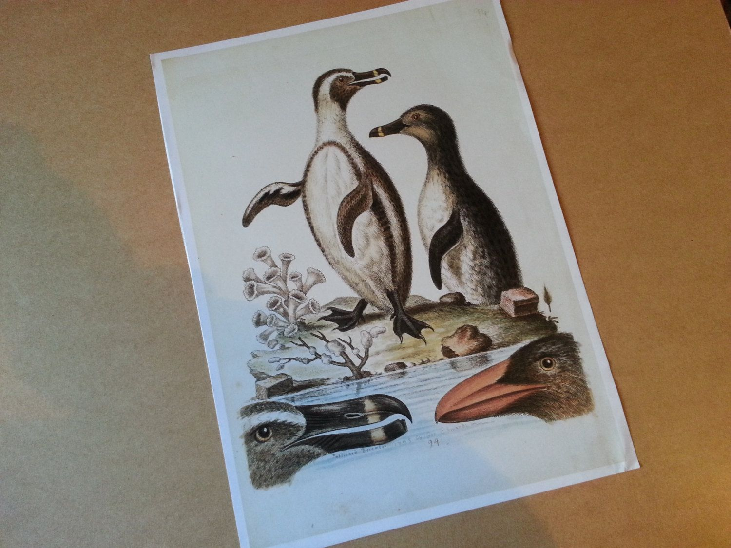 Large Vintage Black Footed Penguin Book Plate Print of Original Etchings or Lithographs by ApplesnPearsEphemera on Etsy