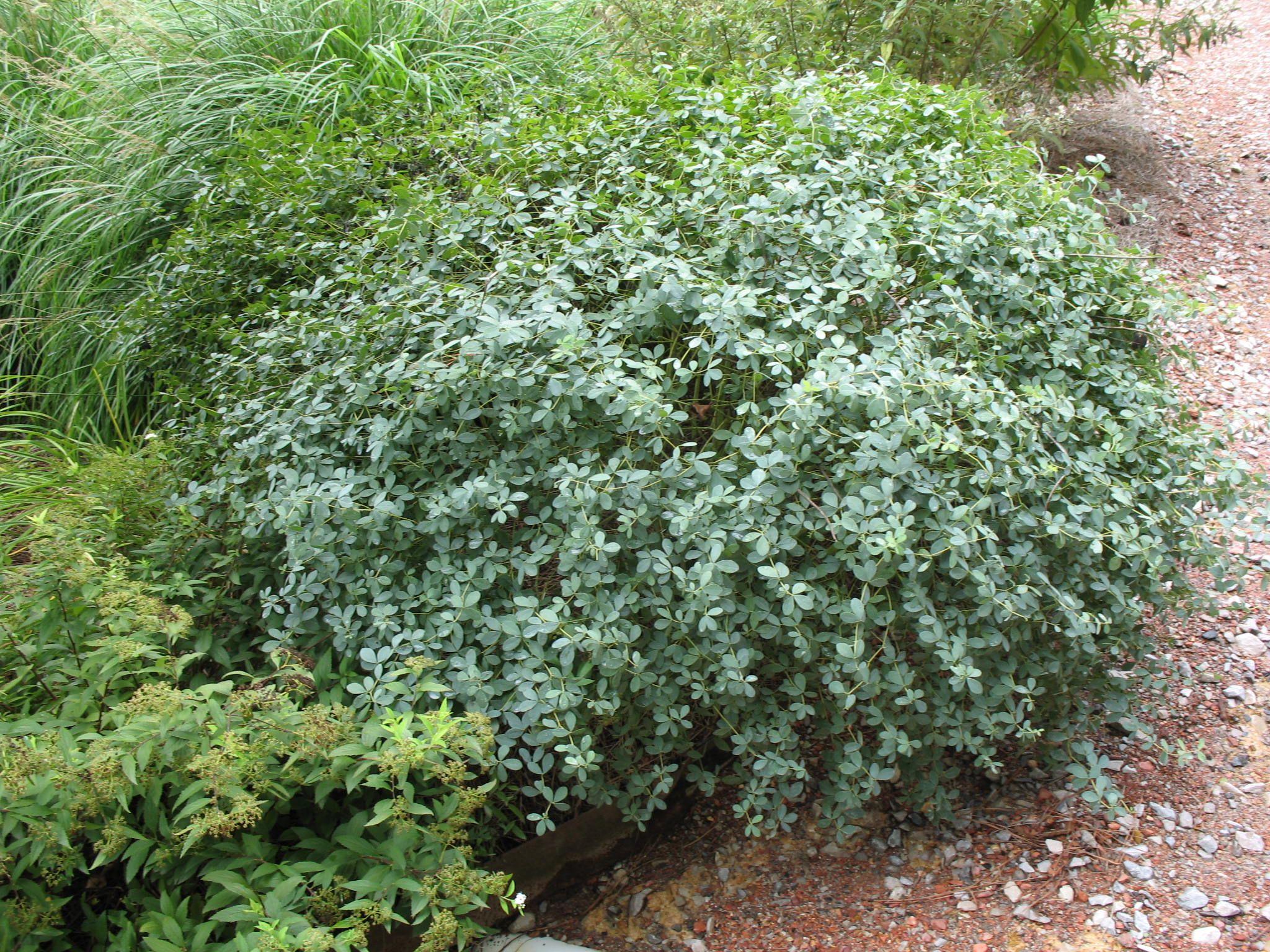 Baptisia Purple Smoke Hybrid Wild Indigo  Deciduous Broadleaf