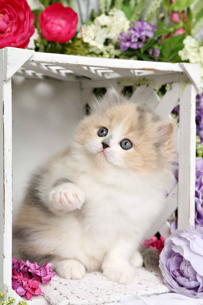 Fairytale Pastel Calico Dilute Calico Persian Kitten for