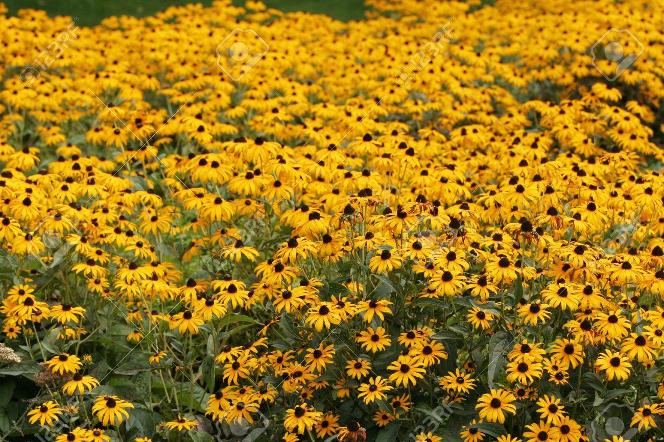 Field Of Yellow Coneflower Echinacea Paradoxa Magical Botanicals