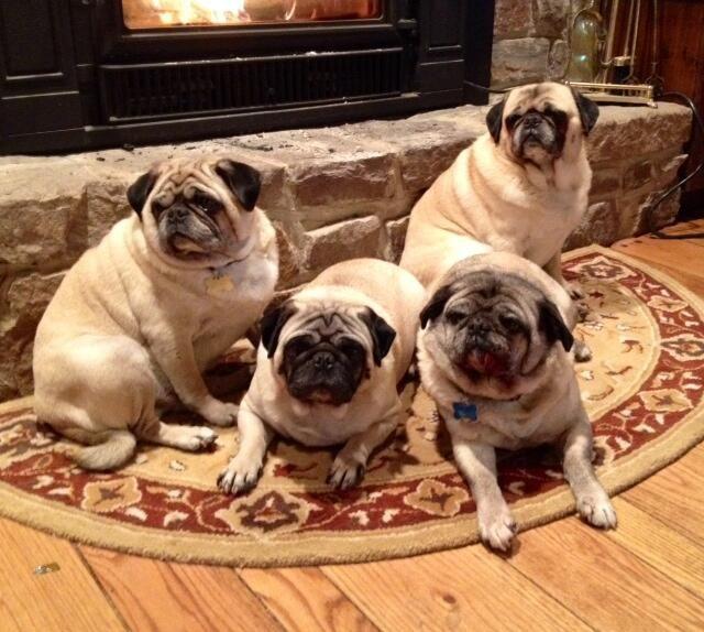 Pugamerica On Pugs Animals French Bulldog