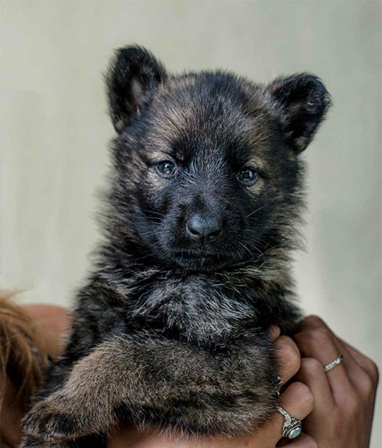 Amazing Teddy Bear Chubby Adorable Dog - d4d4398b9472f56a8aa1b28cce40178c  Image_422758  .jpg