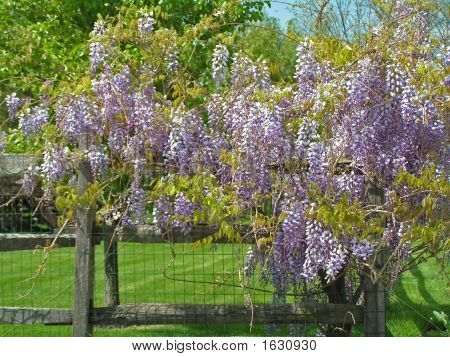 how to grow wisteria in australia