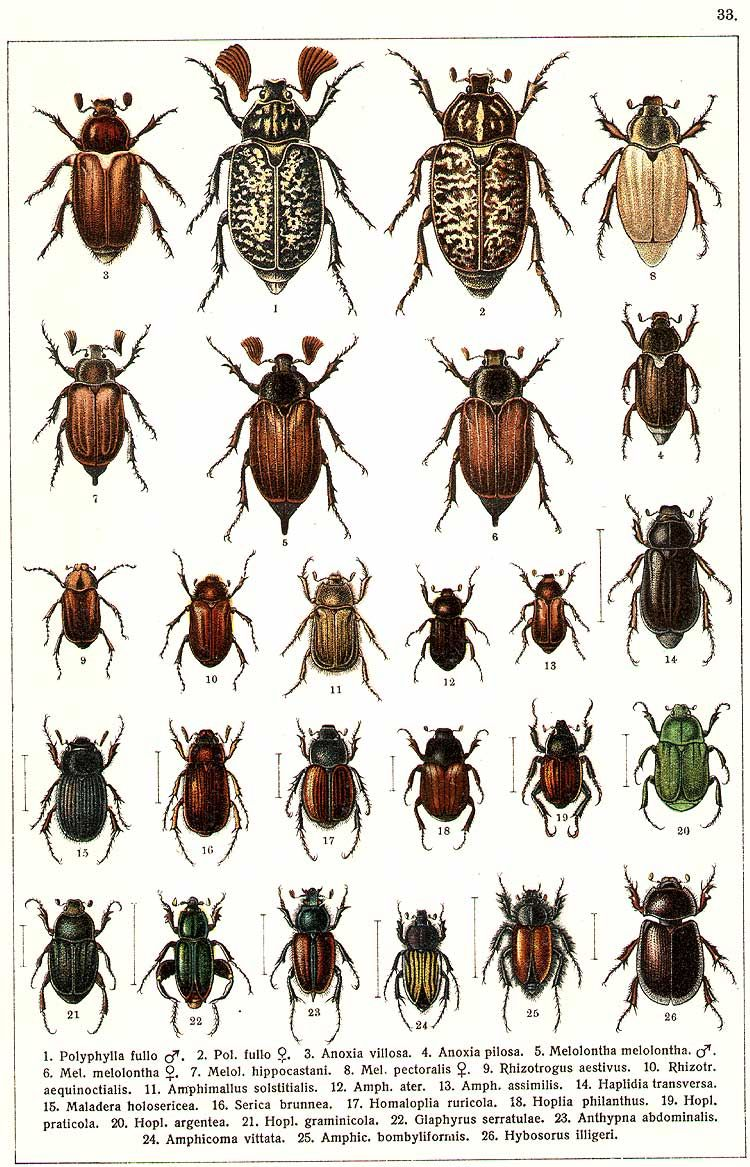 "G.G. Yakobson (1905-1915) - ""Beetles of Russia"": table 33"