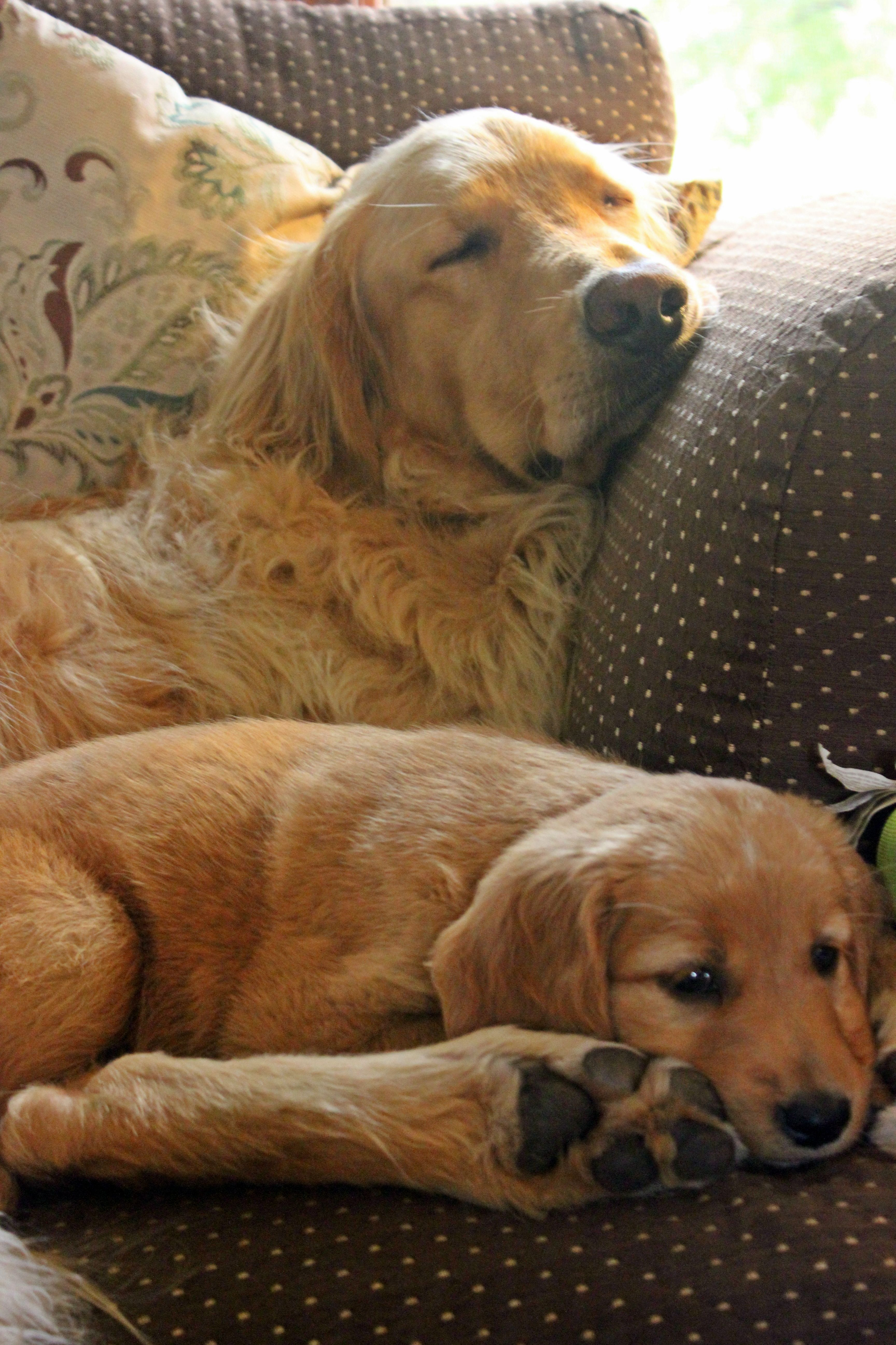 My Golden Retrievers Hollister 3 Yrs And Cadence 7 Wks From