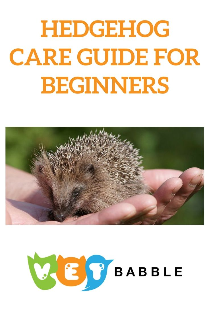 Hedgehog care caring for pet hedgehogs in 2020