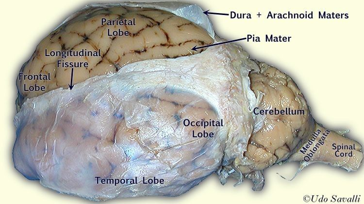 Pin By Rahaa Mohamadi On Anything Medical In 2021 Brain Anatomy Anatomy And Physiology Brain