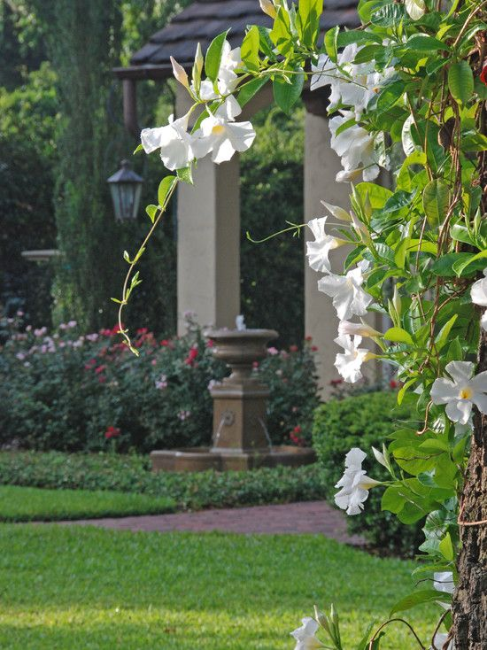 Mandevilla Vine - sun/ps, up to 10', e/green, blooms on & off but mostly in summer. http://www.floridata.com/ref/m/mandev.cfm