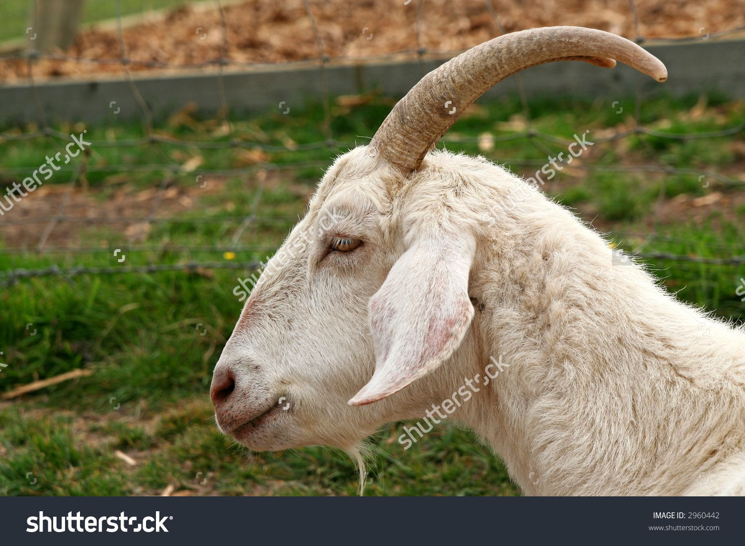 Stock Photo Goat Head Profile 2960442 1500x