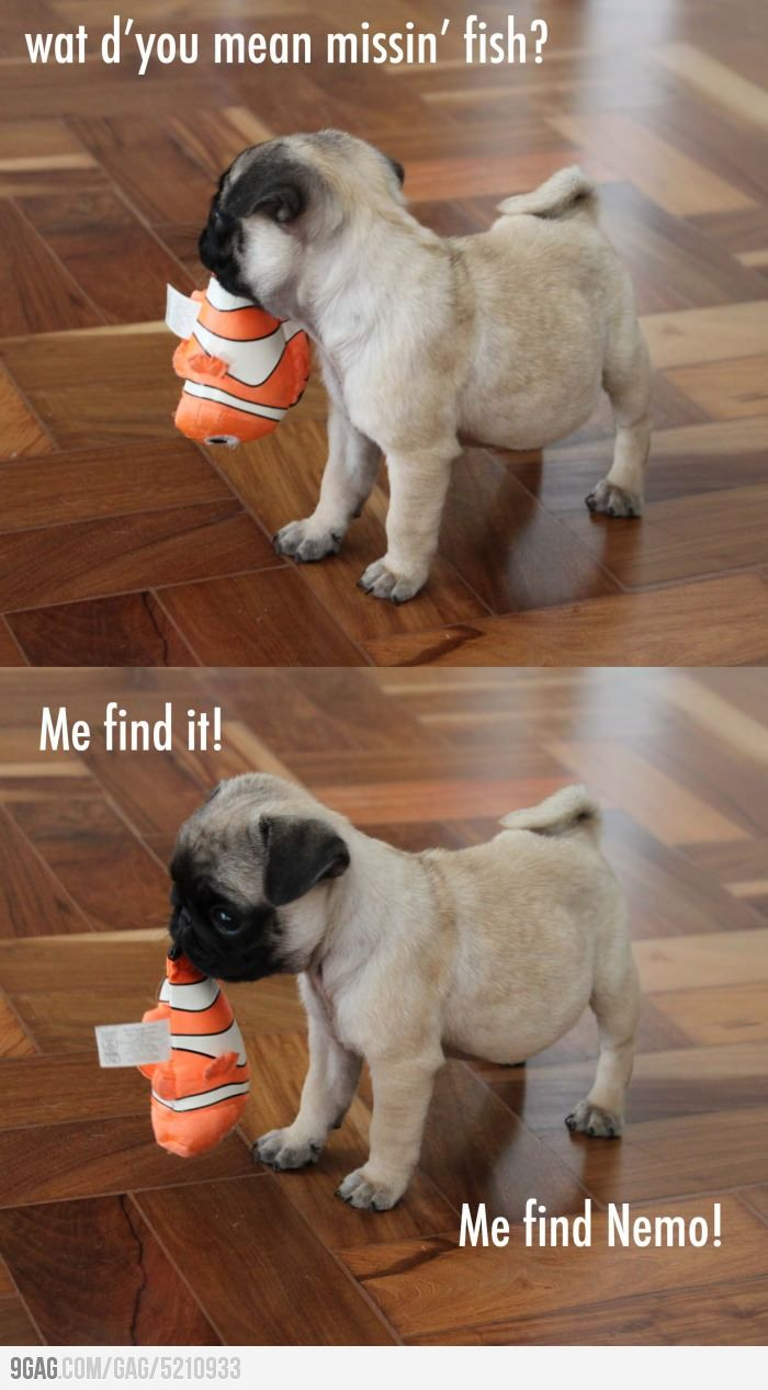 What Do You Mean By Missing Fish Baby Pugs Cute Pugs Cute Dogs