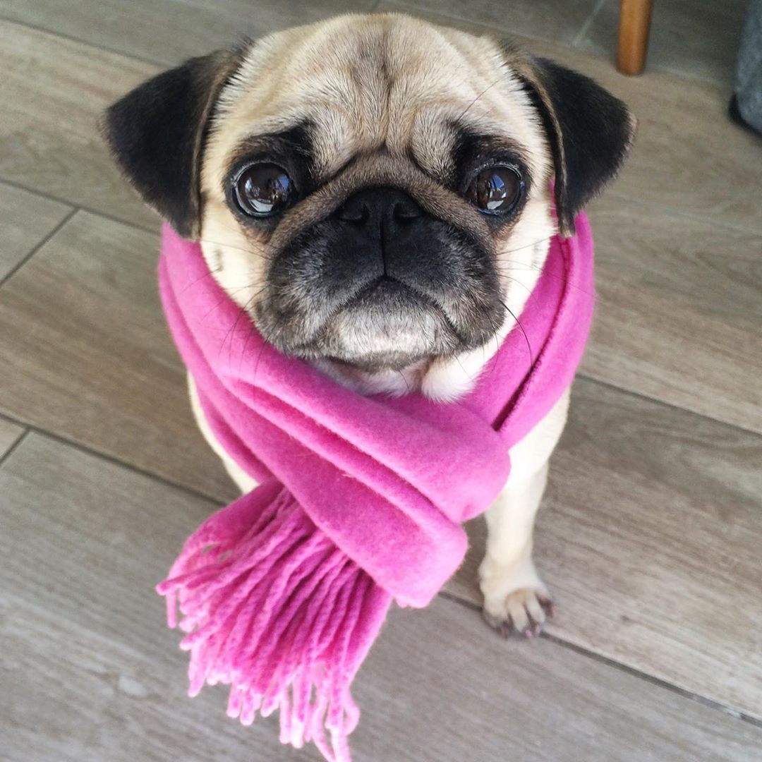 Pin By Espi O On Pugs In 2020 Cute Baby Pugs Pugs Funny Baby Pugs