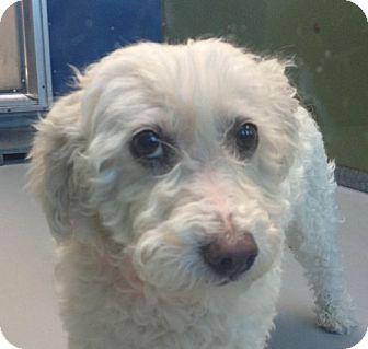 Las Vegas Nv Poodle Miniature Mix Meet Kay A Dog For