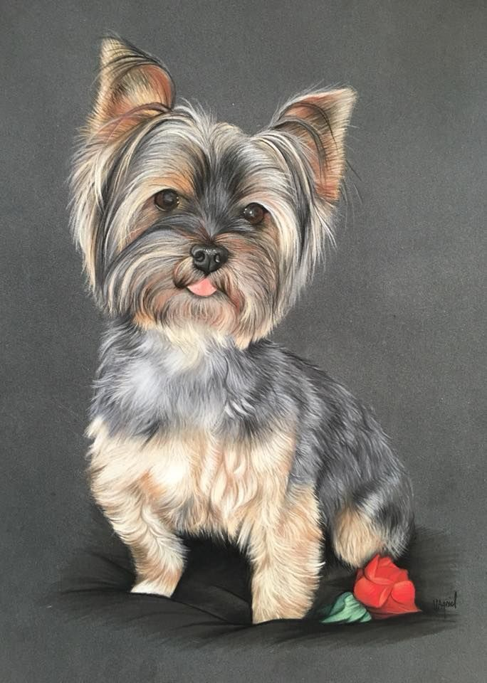 Pin By Linda Marlow On Dog Drawings In 2020 Yorkshire Terrier