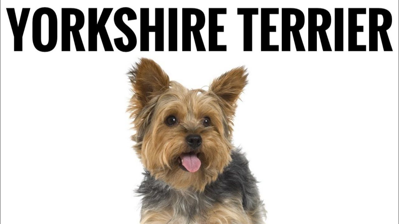 Yorkshire Terrier Yorkie Interesting Facts Top 10 Dogs