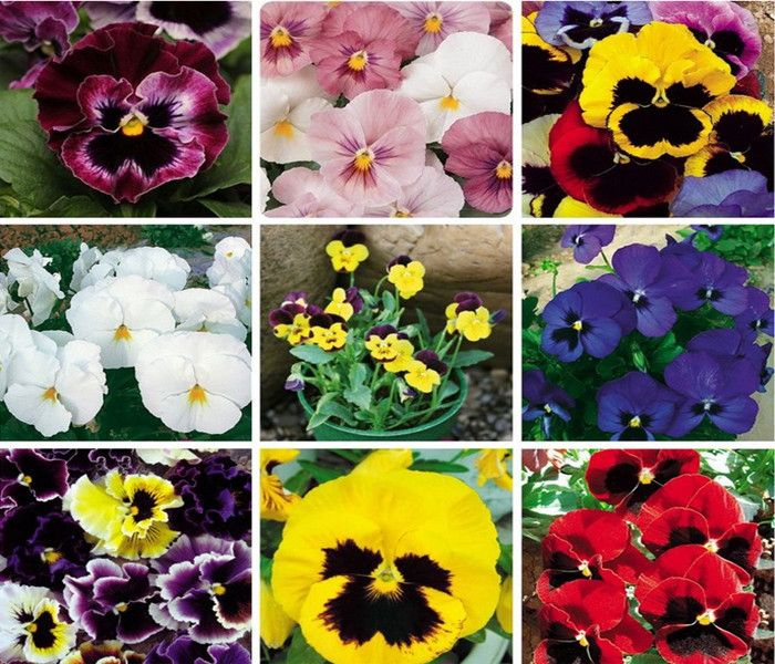 HOT!!!Flowers Seeds Pansy ,Big flower pansy,Mix Pansy Seeds Colors Bright - 50 Seed particles