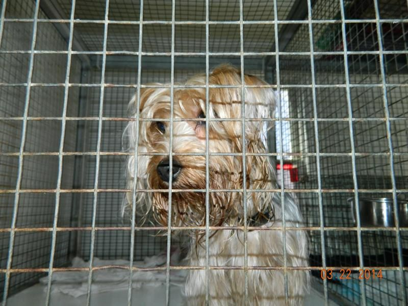 Petfinder  Adopted   Dog   Yorkshire Terrier Yorkie   Leicester, MA   Scarlet