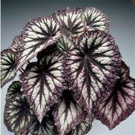 Begonia Fuegos Artificiales Begonia Rex Hibrido Begonia Plants Rare Flowers